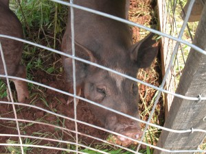 The pastured pigs live in a pen of Beau's design that is moved frequently.