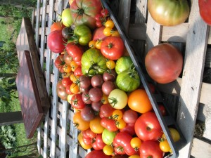A startling array of heirloom tomatoes.